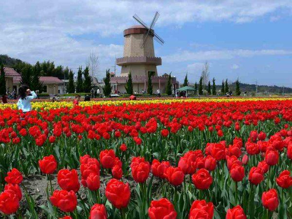 hao tulip ha lan