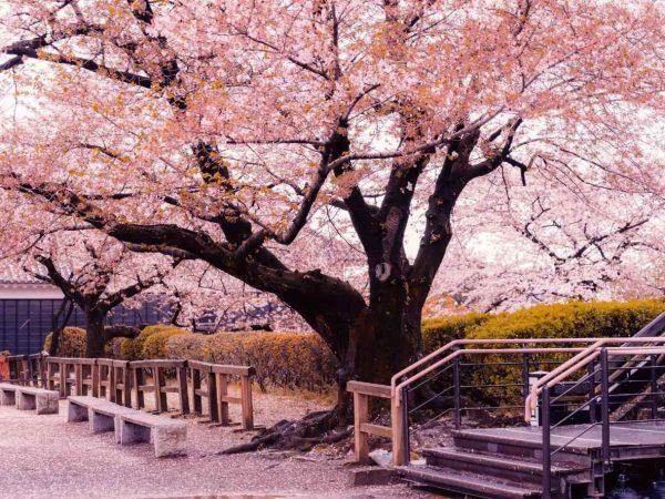 Tour Nhật Bản ngắm hoa Anh Đào (tháng 3, 4 /bay Vietnam Airlines)